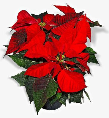 Poinsettia: Photo from Wikipedia